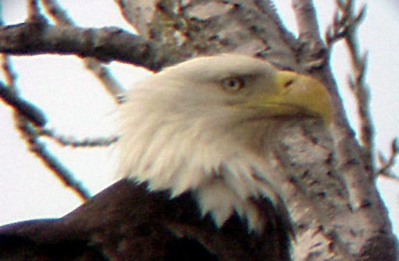 Eagle Nest - 3-27-04 - adult head