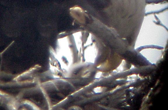 Eagle Nest 3-27-04 feeding