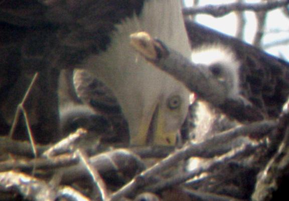 Eagle Nest - 3-27-04 triplets