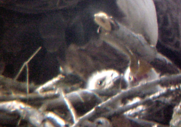 Eagle Nest - 3-27-04 triplets 3.jpg