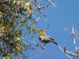 Verdin  Building Nest  0205-2j  Tucson, AZ