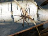 Fisher Spider