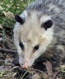 Playing 'Possum