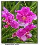 Orchid 6. Vanda Roberto