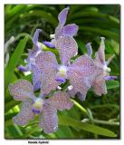 Orchid 15. Vanda hybrid