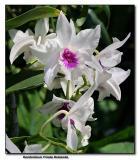 Orchid 16.  Dendrobium Frieda Bratanda