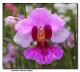 Orchid 2.  Vanda Miss Joaquim 'Douglas'