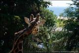 Crooked Necked Giraffe