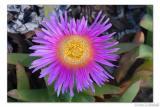 Ice Plant flower