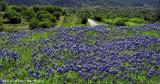 Landscapes of Bluebonnets - SH 71
