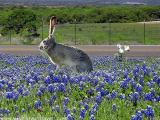 Bunny in the Bluebonnets