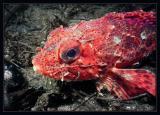 Redondo Scorpionfish