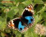 Blue Pansy (Male) - With Nikon CP5700