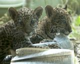 Jaguar Kittens