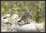 Croaking Ground-Dove 2