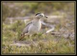 Peruvian Thick-knee 1