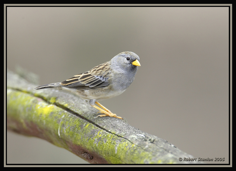 Band-tailed Sierra-Finch 1