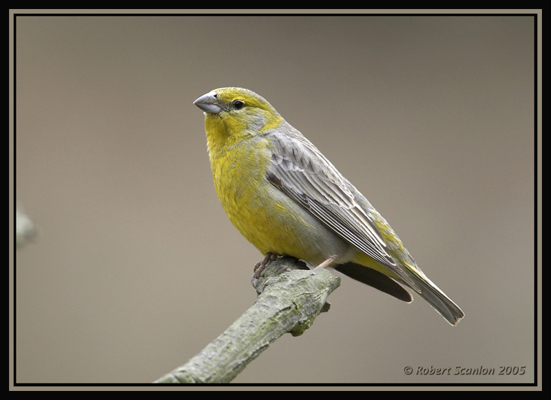 Raimondis Yellow-Finch