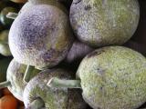 Mature Breadfruit