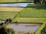 Hanalei taro plantings