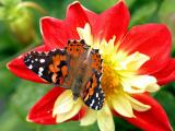 Butterfly And Dahlia
