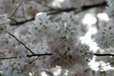 Cherry Blossoms4.jpg