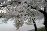 Cherry Blossoms6.jpg