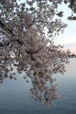 Cherry Blossoms9.jpg