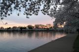 Cherry Blossoms10.jpg