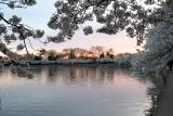 Cherry Blossoms11.jpg