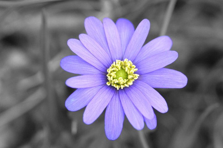 Purple Flower Isolated.jpg