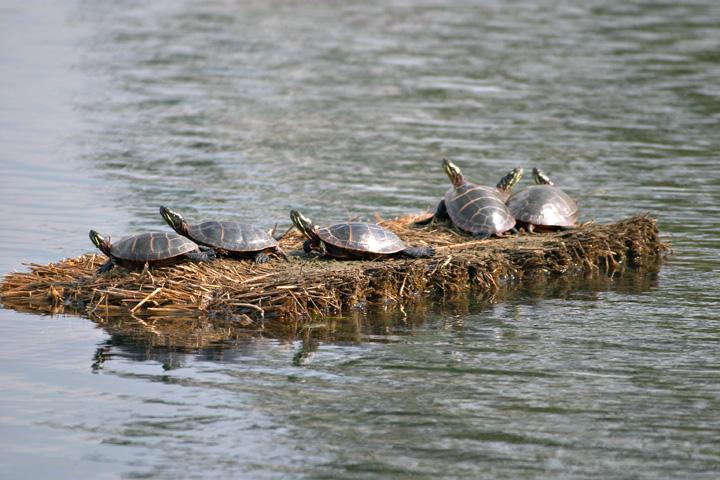 Turtles on a Bale.jpg