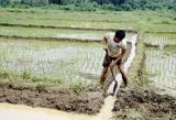 Irrigated rice -- Rudy repairing water canals