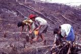 Planting rice in a burned swidden field