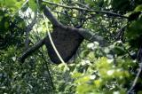 Galon is going to collect honey from a bee hive high in the trees