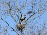 Herons Copulating