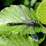 Mustached Clubtail - Gomphus adelphus (fresh female)