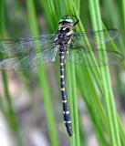 Twin-spotted Spiketail - Cordulegaster maculata (male)