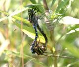 Green-striped Darners - Aeshna verticalis