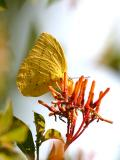 Large Orange Sulphur - Phoebis agarithe