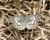 Tropical Checkered Skipper - Pyrgus oileus