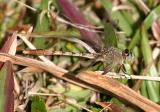 Gray-green Clubtail - Arigomphus pallidus