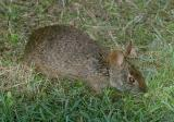 Marsh Rabbit - Sylvilagus palustris