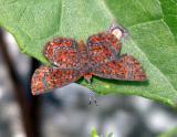 Little Metalmark - Calephelis virginiensis