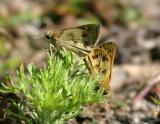 mating Whirlabouts - Polites vibex