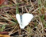 male Great Southern White - Ascia monuste