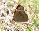 Mangrove Buckeye - Junonia evarete