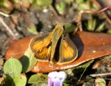 male Whirlabout - Polites vibex