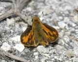 male Fiery Skipper - Hylephila phyleus