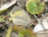 Barred Yellow - Eurema daira